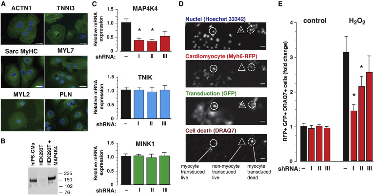 MAP4K4 Inhibition Promotes Survival of Human Stem Cell Derived