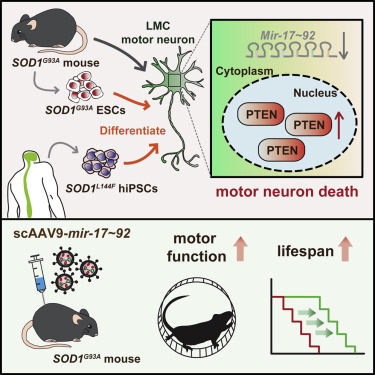 Mir-17∼92 Confers Motor Neuron Subtype Differential Resistance to
