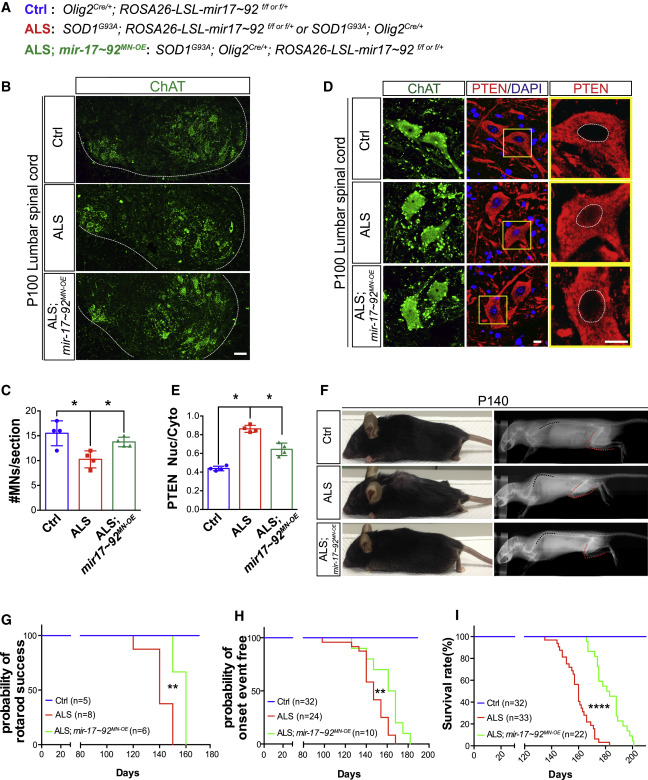 Mir-17∼92 Confers Motor Neuron Subtype Differential