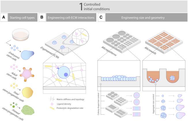Engineering Stem Cell Self Organization To Build Better Organoids Sciencedirect