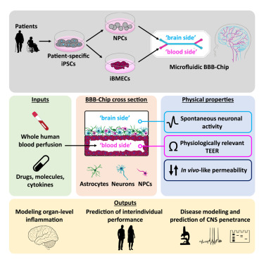 Human iPSC-Derived Blood-Brain Barrier Chips Enable Disease