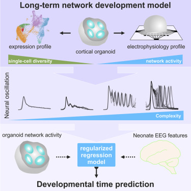 Complex Oscillatory Waves Emerging from Cortical Organoids