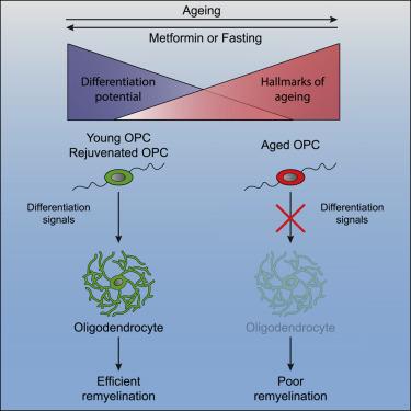 Metformin Restores CNS Remyelination Capacity by