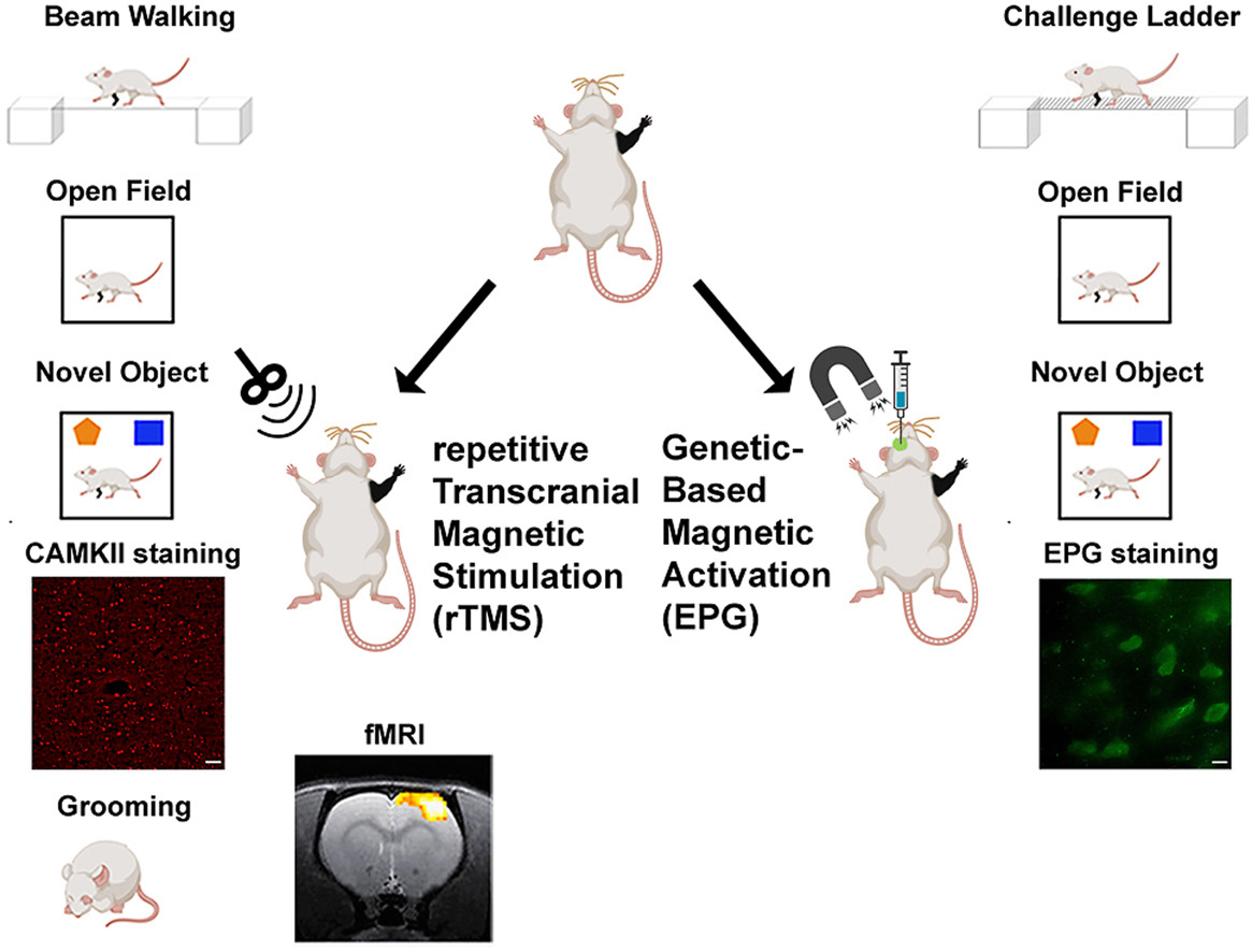 [ARTICLE] Non-invasive neuromodulation using rTMS and the electromagnetic-perceptive gene (EPG) facilitates plasticity after nerve injury – Full Text
