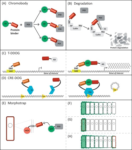 development and application of functionalized protein binders in