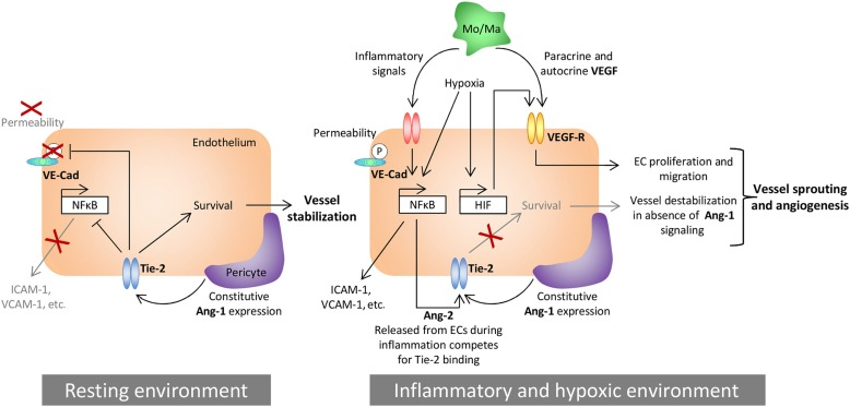 Angiopoietin-2 - an overview | ScienceDirect Topics