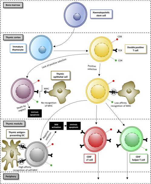 T Cells and Regulated Cell Death: Kill or Be Killed - ScienceDirect
