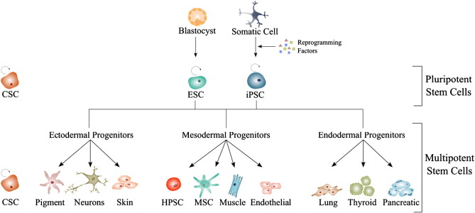 The role of purinergic receptors in stem cell differentiation pluripotent stem cells ccuart