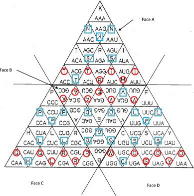 Genetic Code Optimization for Cotranslational Protein Folding: Codon
