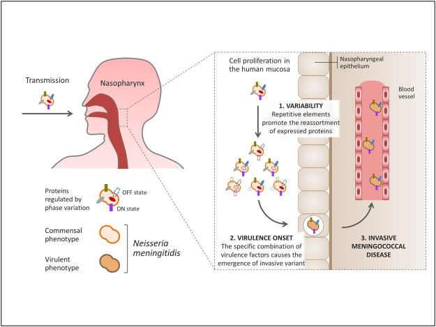 Interplay Between Virulence and Variability Factors as a Potential Driver of Invasive Meningococcal Disease