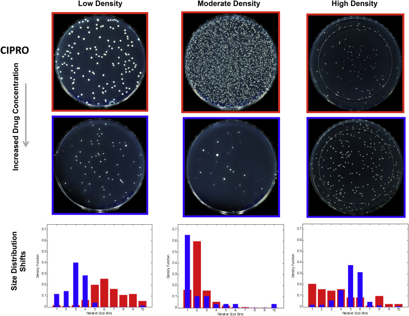 Intermediate Levels of Antibiotics May Increase Diversity of Colony Size Phenotype in Bacteria