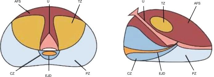 anatomia da prostata pdf