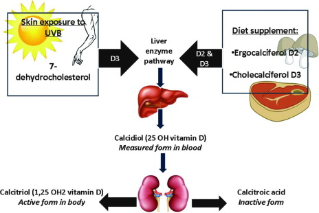 Vitamin D and the skin: Focus on a complex relationship: A review ...