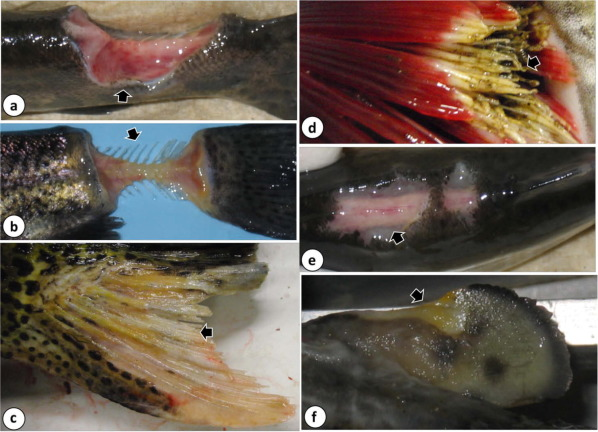 Emerging flavobacterial infections in fish: A review