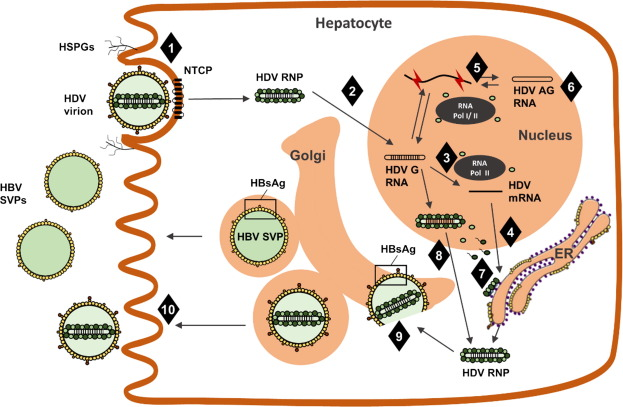 A review on hepatitis D: From virology to new therapies
