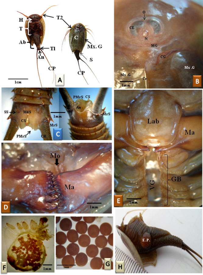 Triops Cancriformis Simplex A Dorsal And Ventral Views Showing Three Main Parts Of The Body Head H Thorax T Abdomen Ab Carapace C