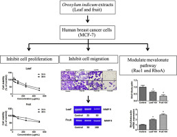 Inhibition Of Cell Proliferation And Migration By Oroxylum Indicum Extracts On Breast Cancer Cells Via Rac1 Modulation Sciencedirect