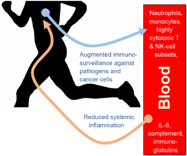 The Compelling Link Between Physical Activity And The Body S Defense System Sciencedirect