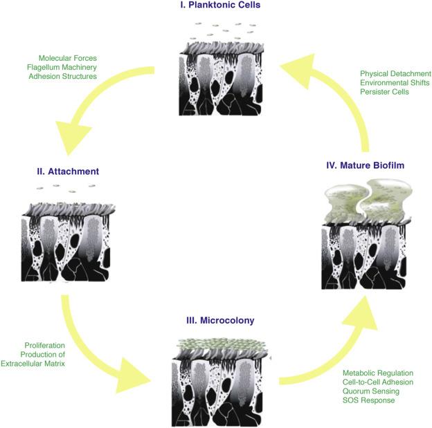 Biofilms in chronic rhinosinusitis: Pathophysiology and therapeutic