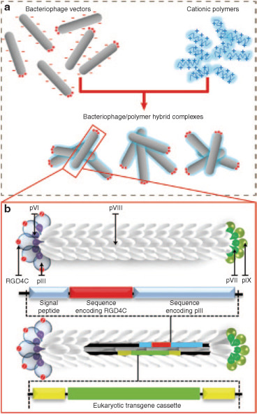 Hybrid Nanomaterial Complexes for Advanced Phage-guided Gene