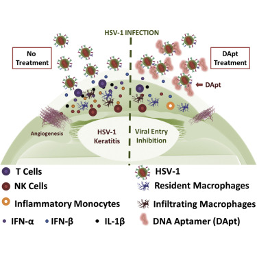 Targeting Herpes Simplex Virus 1 Gd By A Dna Aptamer Can Be An Effective New Strategy To Curb Viral Infection Sciencedirect