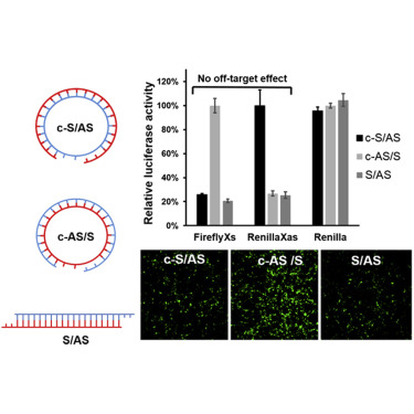 Circular Sirnas For Reducing Off Target Effects And Enhancing Long Term Gene Silencing In Cells And Mice Sciencedirect