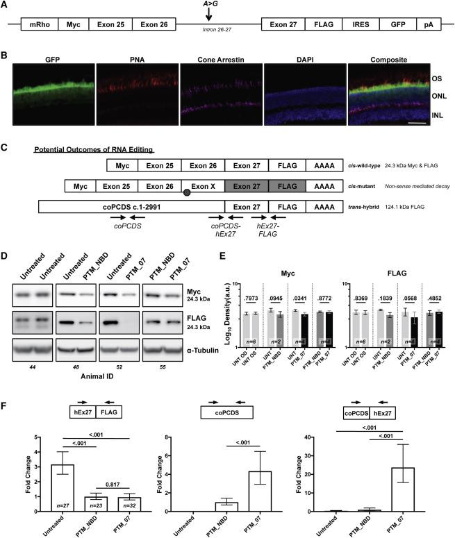 Spliceosome-Mediated Pre-mRNA trans-Splicing Can Repair
