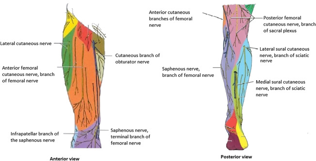 Total knee arthroplasty the optimal analgesic regime sciencedirect innervation of the knee adapted from httpquizlet29786836knee and popliteal fossa flash cards unknown 2014 ccuart Image collections