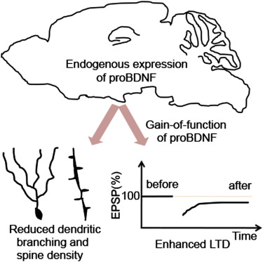 Probdnf Negatively Regulates Neuronal Remodeling Synaptic