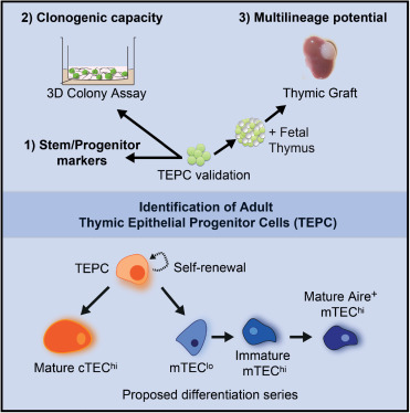 Multilineage Potential and Self-Renewal Define an Epithelial