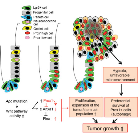 Prox1 Promotes Expansion Of The Colorectal Cancer Stem Cell Population To Fuel Tumor Growth And Ischemia Resistance Sciencedirect