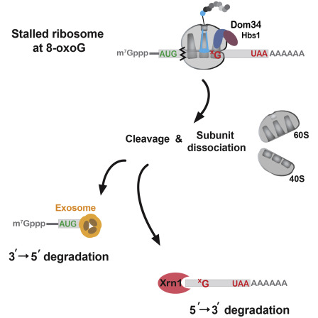 An Active Role For The Ribosome In Determining The Fate Of Oxidized