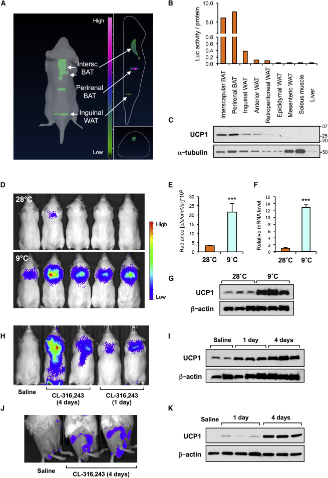 ThermoMouse: An In Vivo Model to Identify Modulators of UCP1