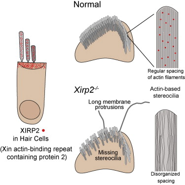 Xirp2 an actin binding protein essential for inner ear hair cell download full size image ccuart Images