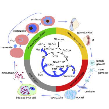 Asexual life cycle of plasmodium falciparum treatment