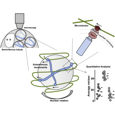 Mechanism And Regulation Of Rapid Telomere Prophase Movements In