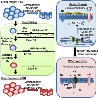 Functional Gene Correction For Cystic Fibrosis In Lung Epithelial