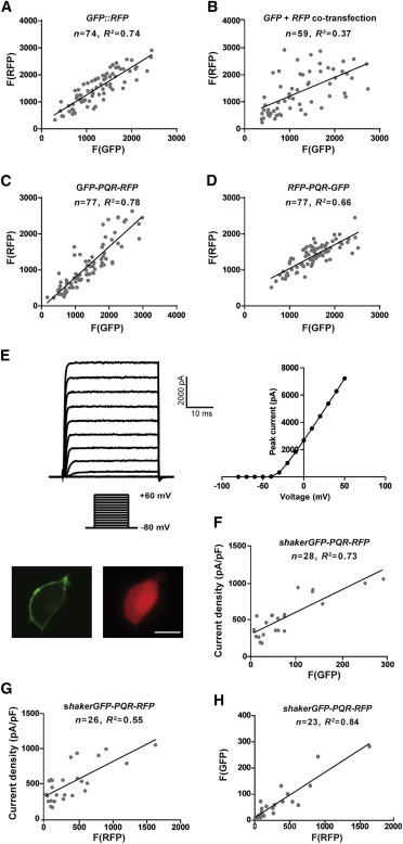 Quantification of Protein Levels in Single Living Cells - ScienceDirect