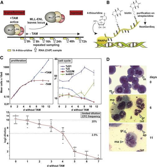 Leukemogenic MLL-ENL Fusions Induce Alternative Chromatin