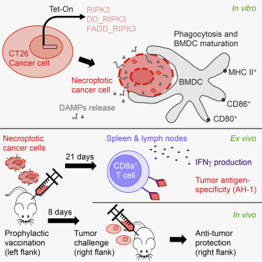 Vaccination with Necroptotic Cancer Cells Induces Efficient