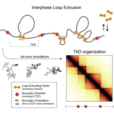 Formation of Chromosomal Domains by Loop Extrusion