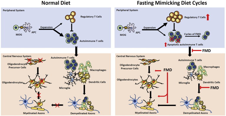 A Diet Mimicking Fasting Promotes Regeneration and Reduces