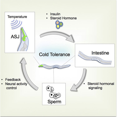 Sperm affects head sensory neuron in temperature tolerance of graphical abstract ccuart Image collections