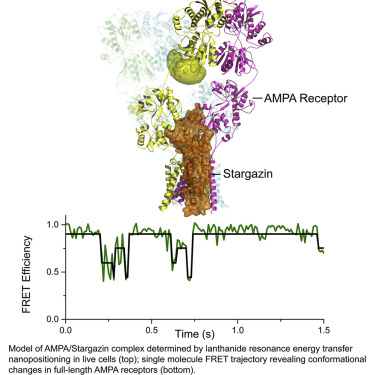 Stargazin Modulation of AMPA Receptors - ScienceDirect