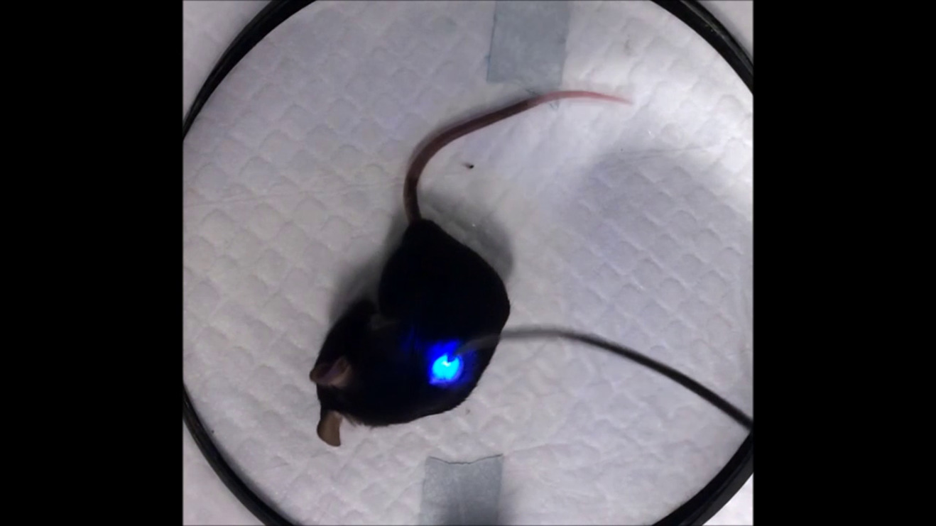 In Vivo Interrogation Of Spinal Mechanosensory Circuits Sciencedirect Mouse Cable Wire Diagram