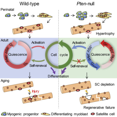 Conditional Loss of Pten in Myogenic Progenitors Leads to