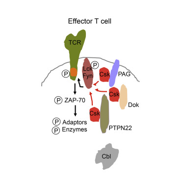 The Csk-Associated Adaptor PAG Inhibits Effector T Cell Activation