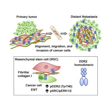 Mesenchymal Stem Cell-Induced DDR2 Mediates Stromal-Breast