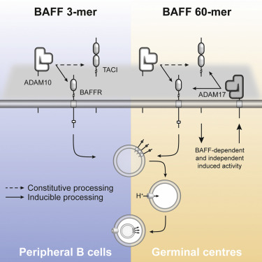 BAFF- and TACI-Dependent Processing of BAFFR by ADAM