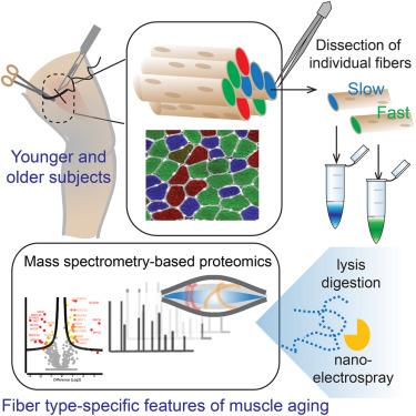 1 s2.0 S2211124717307118 fx1 single muscle fiber proteomics reveals fiber type specific features